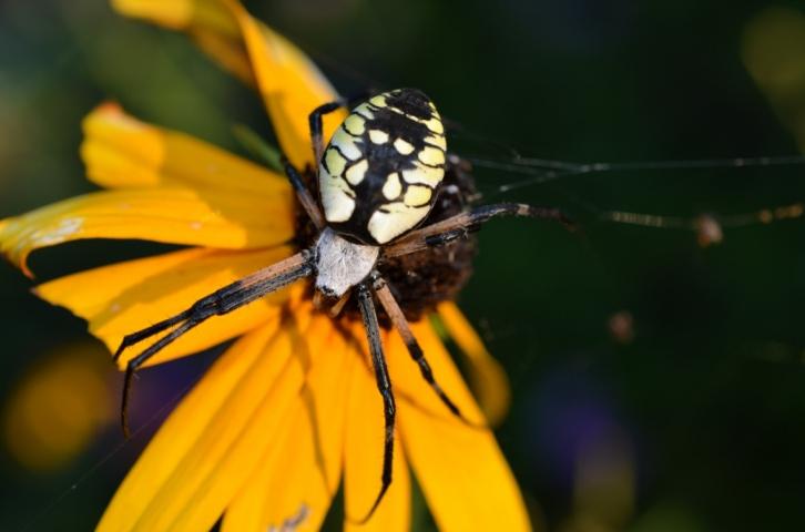 Spider on Black-Eyed Susan